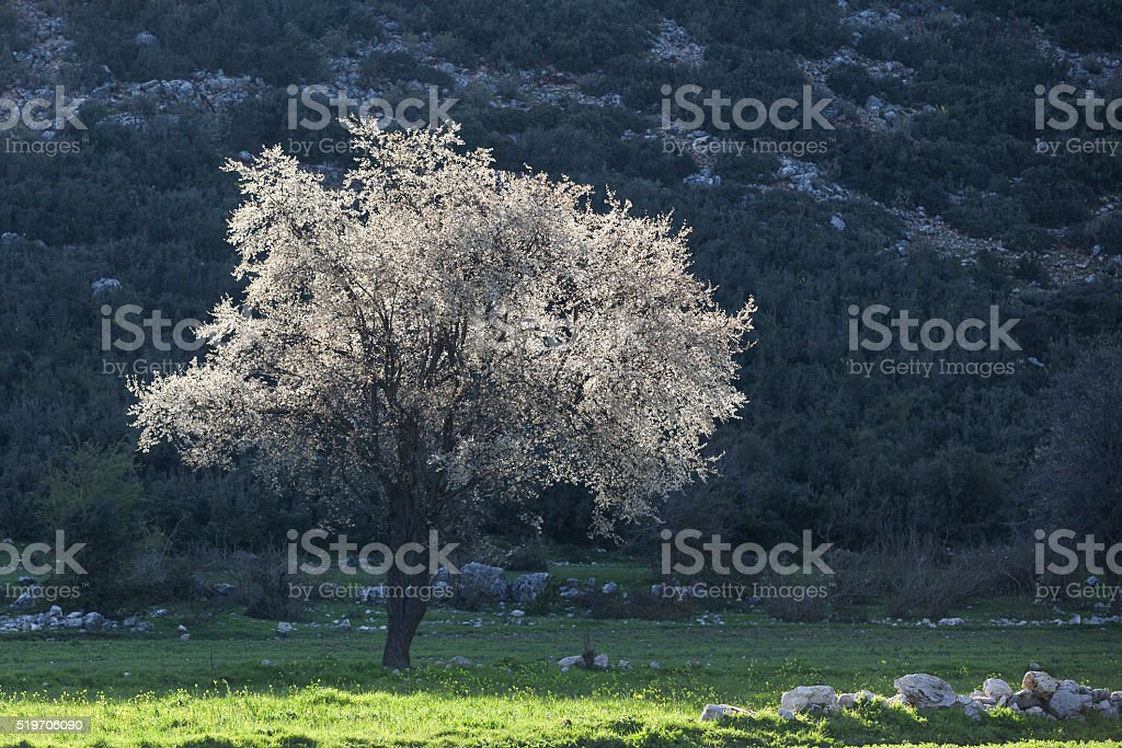 Pear Tree With White Flowers In Green Field stock photo