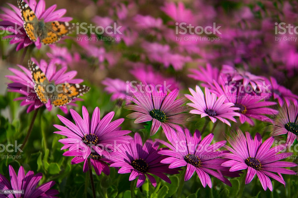 Pearl Border Fritillary Butterfly and  Aster Bloom stock photo
