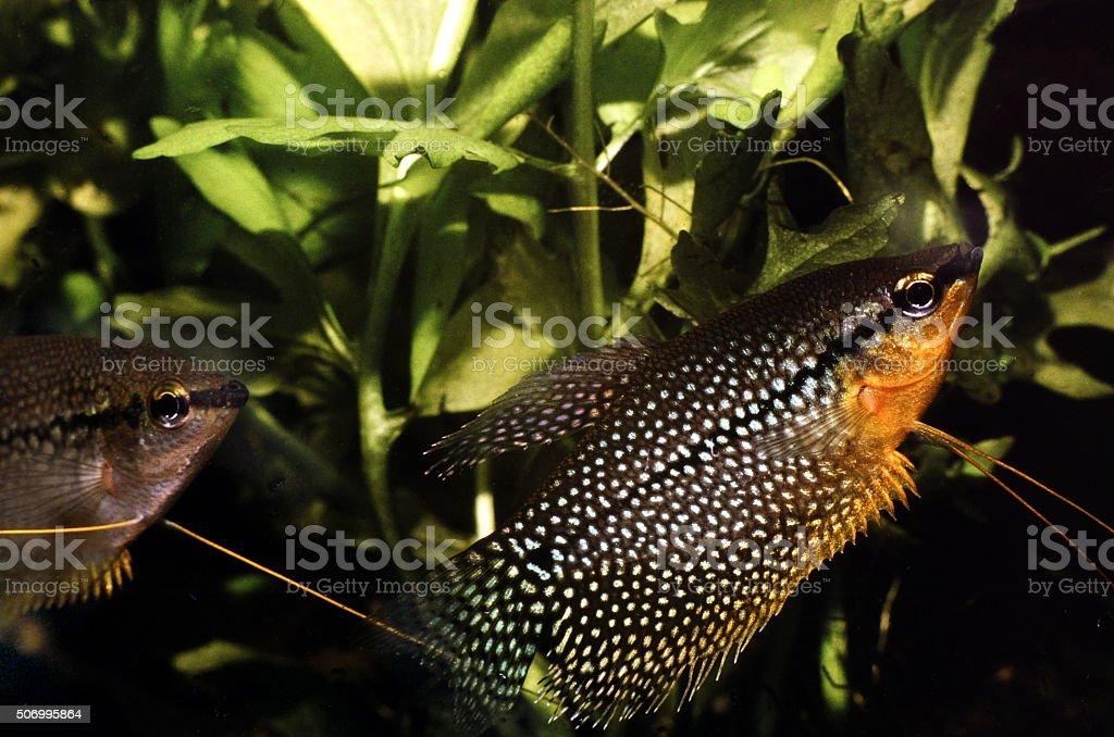 Pearl Gourami. Courtship between breeding pair. Trichopodus Leerii. stock photo