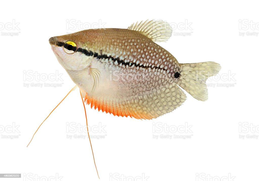 Pearl gourami Trichopodus leerii freshwater aquarium fish isolated on white stock photo