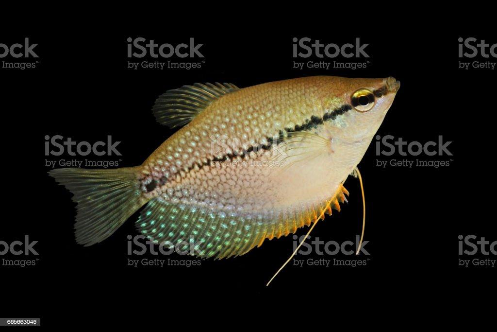 Pearl gourami Trichopodus leerii freshwater aquarium fish stock photo