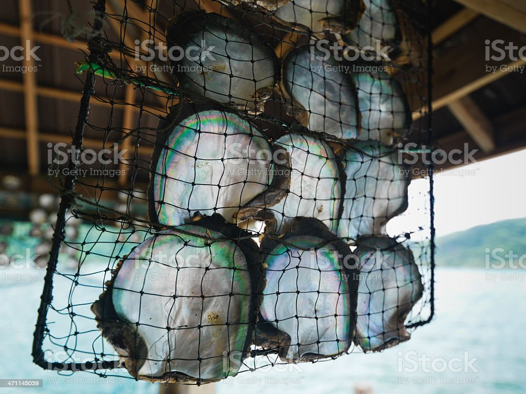 Pearl Oyster Cultivation royalty-free stock photo