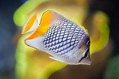 Pearlscale butterflyfish (Chaetodon xanthurus)