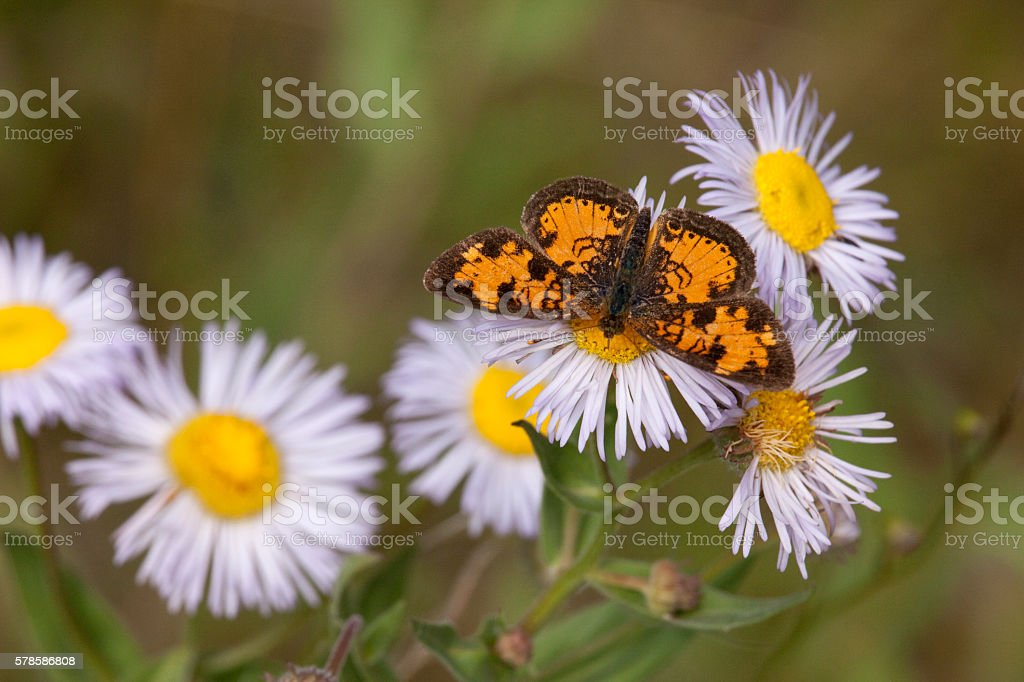 Pearly crescentspot butterfly fleabane aster Reynolds Park Colorado stock photo