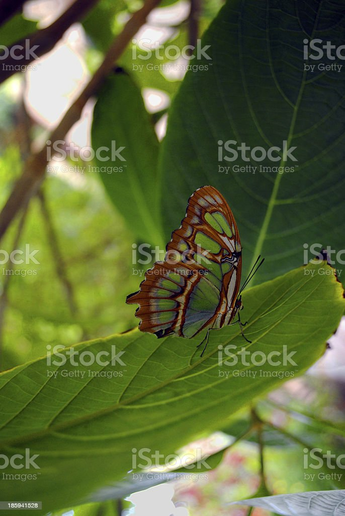 Pearly Malachite Butterfly royalty-free stock photo