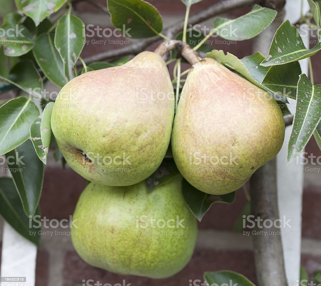 Pears against Wall (Pyrus spec.) stock photo