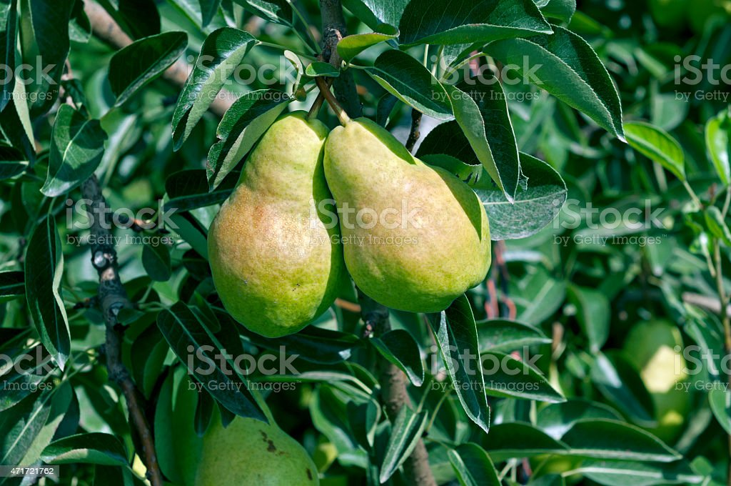 Pears growing in late summer near Moxie WA stock photo
