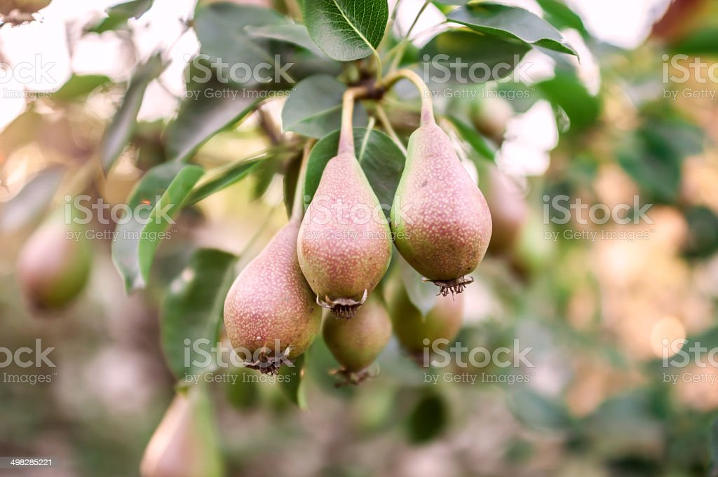 Pears growing in the pear orchard. stock photo