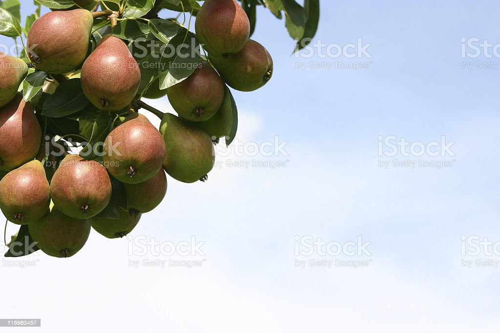 pears in July stock photo