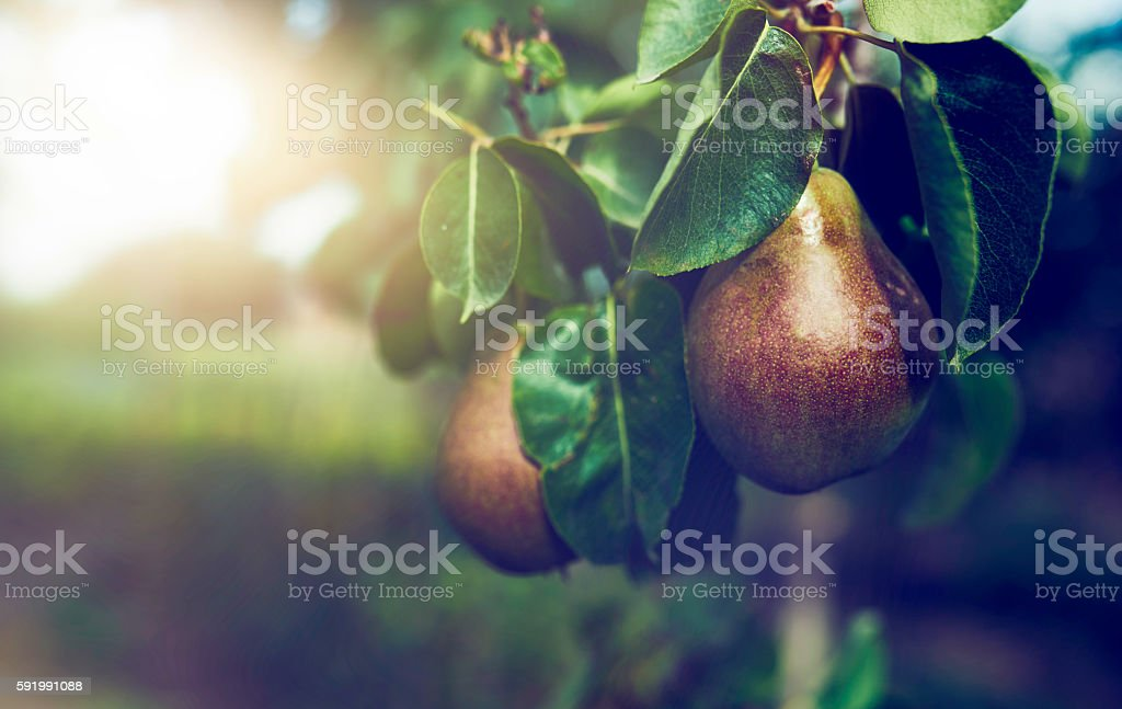 pears in the tree stock photo