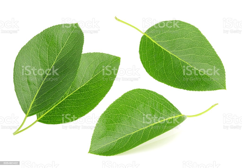 Pears leaves isolated on a white background stock photo