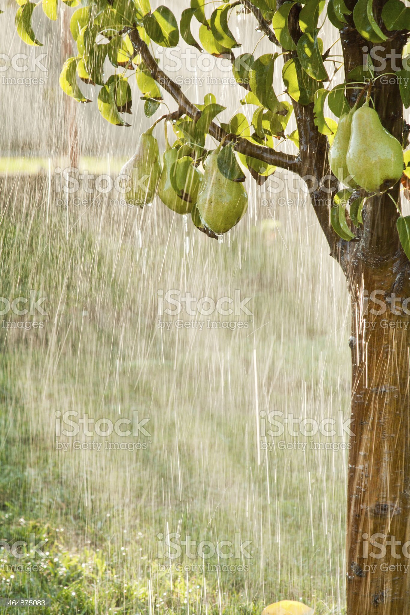 Pears on a tree branch closeup in orchard. Summer rain royalty-free stock photo