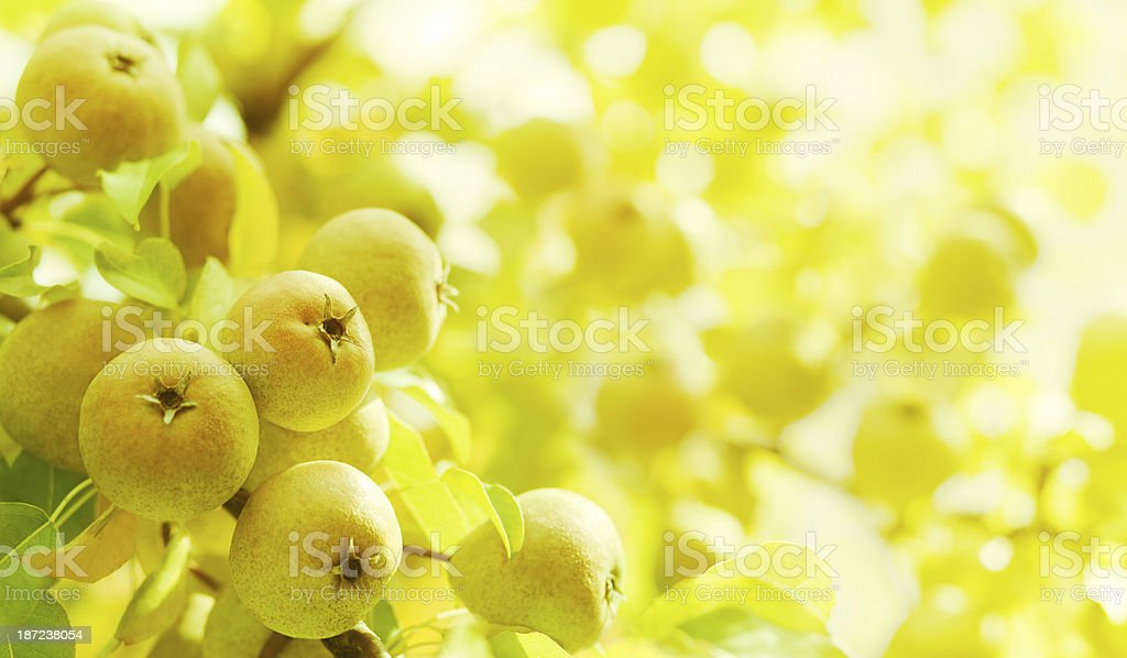 pears on branch stock photo