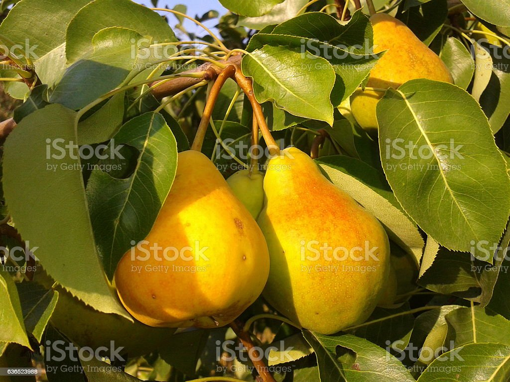 pears on the branch stock photo