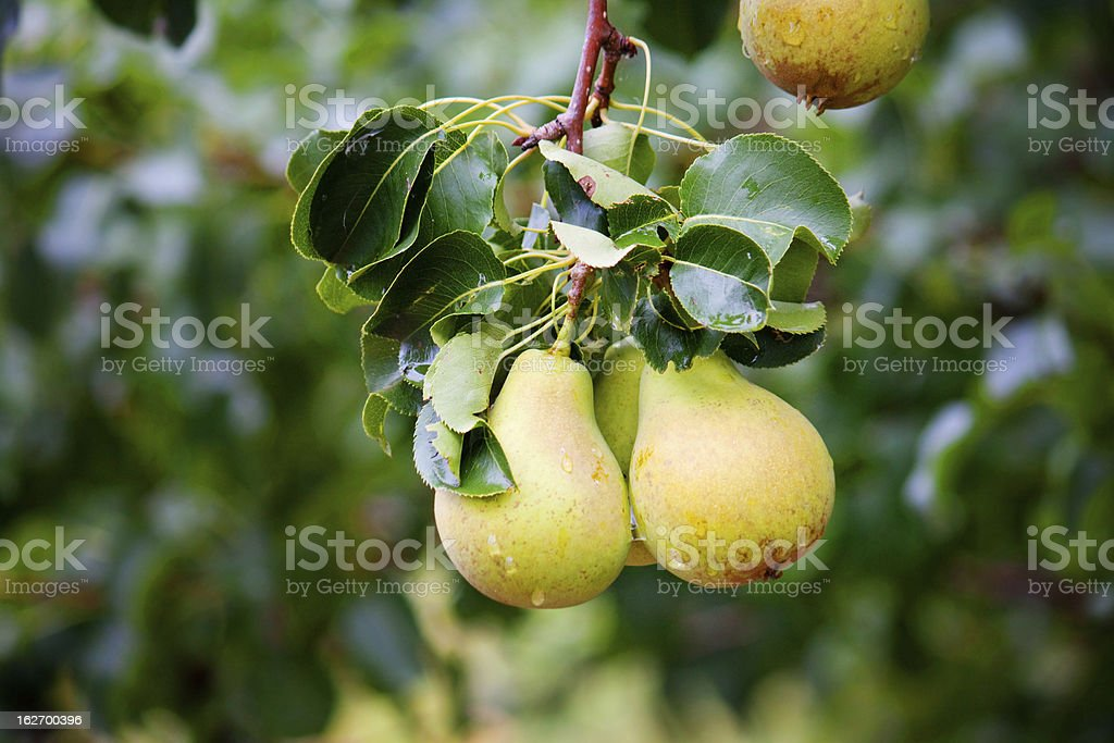 Pears on the tree royalty-free stock photo