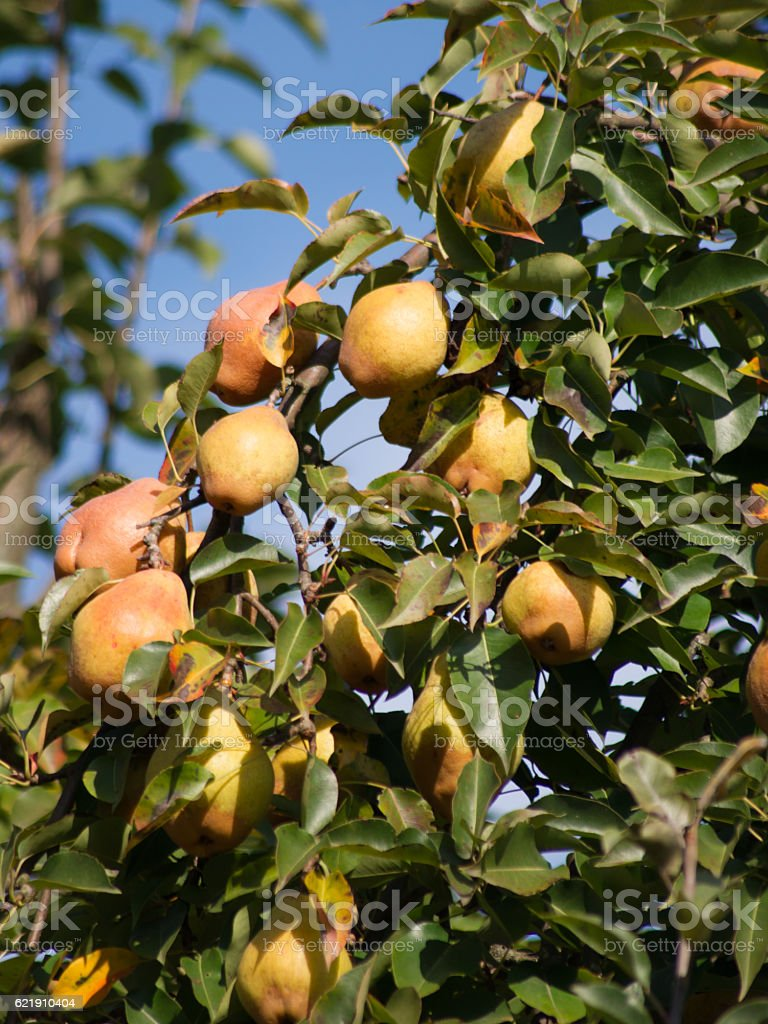 Pears on the tree stock photo