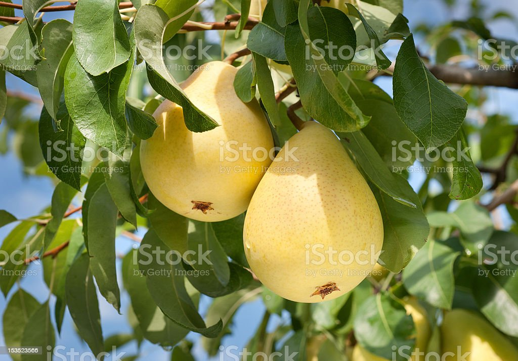 pears on tree stock photo