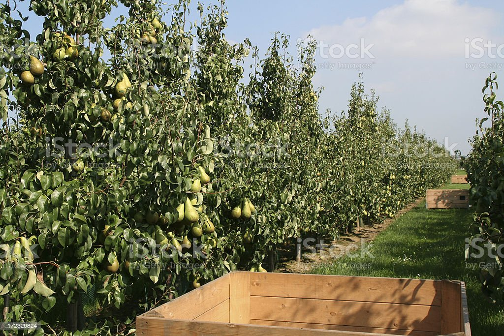 Pears - orchard # 7 royalty-free stock photo