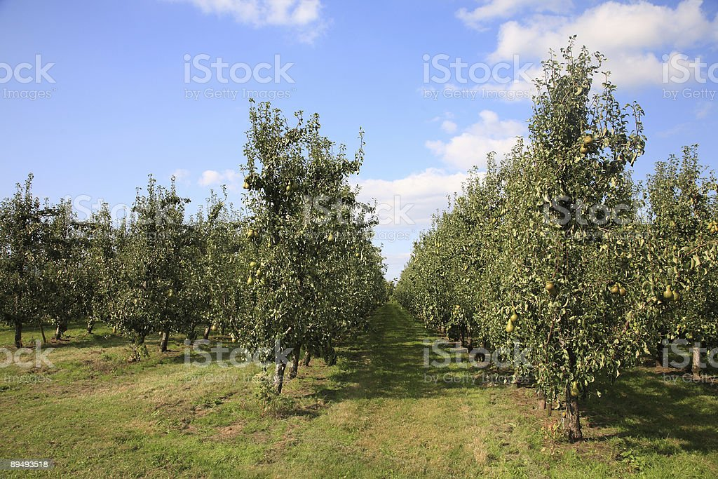 Pears Orchard stock photo