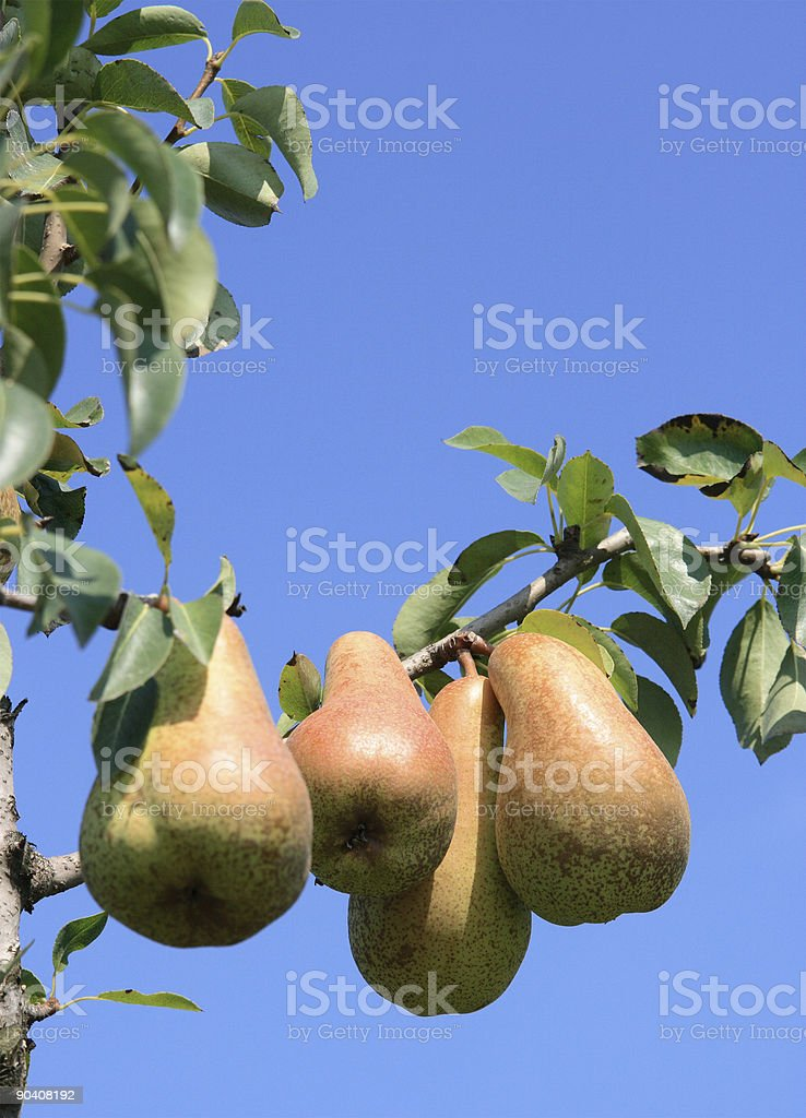 Pears royalty-free stock photo