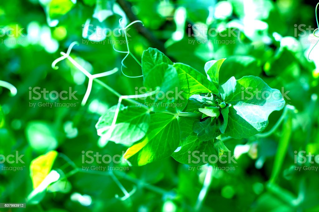 Peas growing in  field stock photo