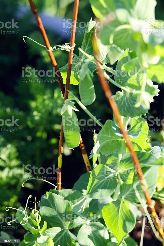 Peas growing in the garden stock photo