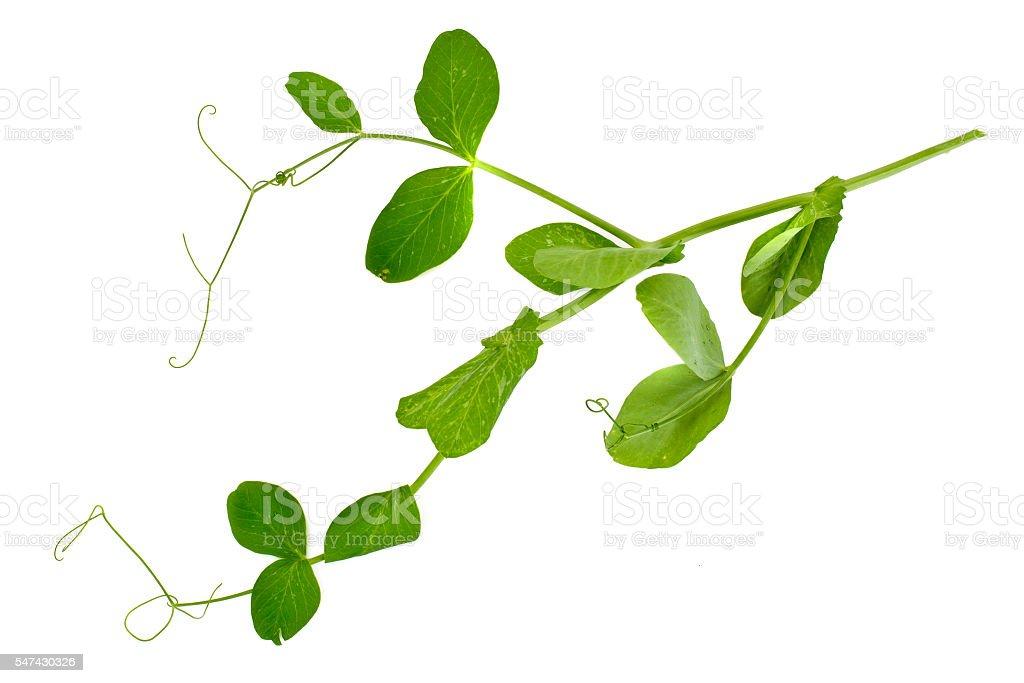 Peas Leaf Isolated on White Background stock photo