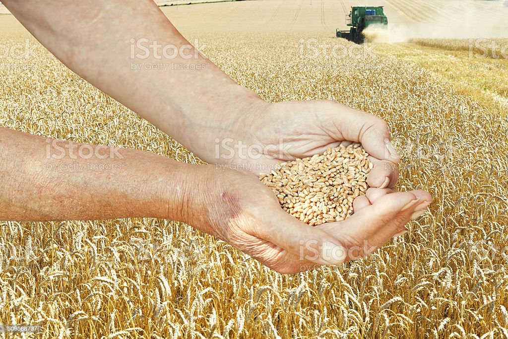 peasant hands hold seeds on wheat field stock photo