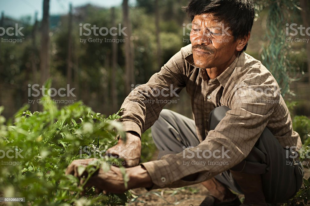 Peasant man fastening ropes to support tomato plants in farm. stock photo