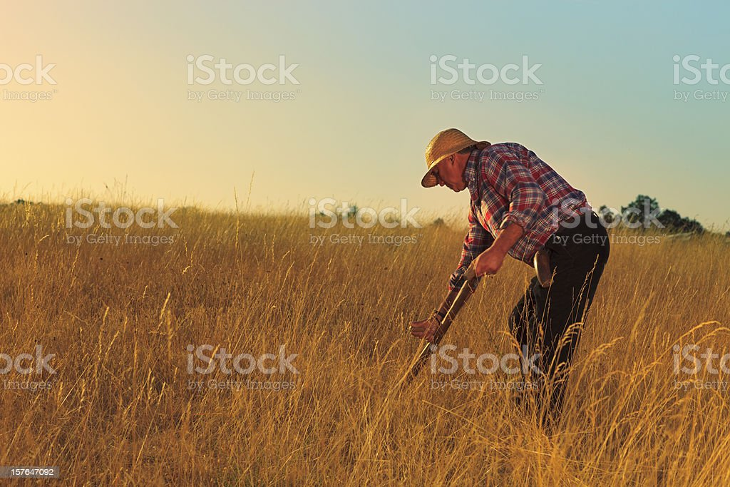 Peasant using a scythe. stock photo