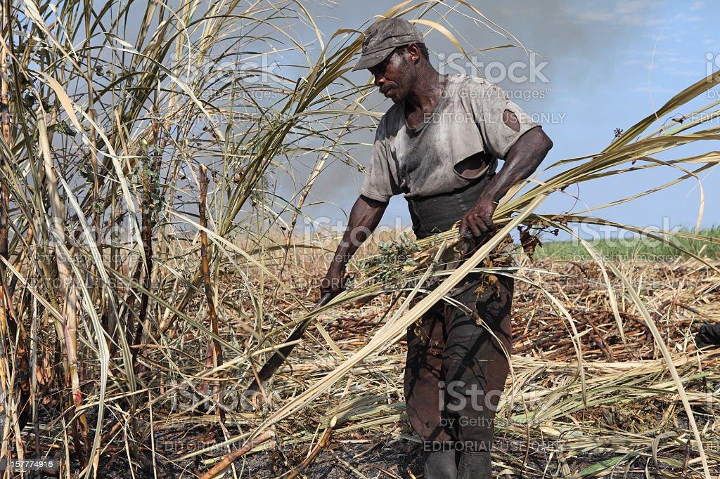 Peasant worker harvesting sugar cane stock photo
