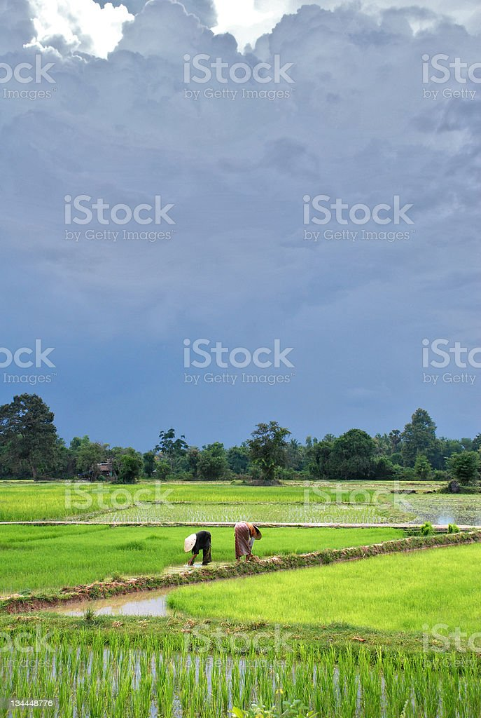 Peasants in a rice field. Laos royalty-free stock photo