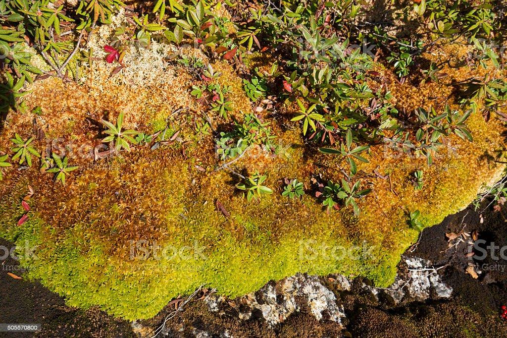Peat moss and arctic alpine plants, Mt. Cardigan, New Hampshire. stock photo