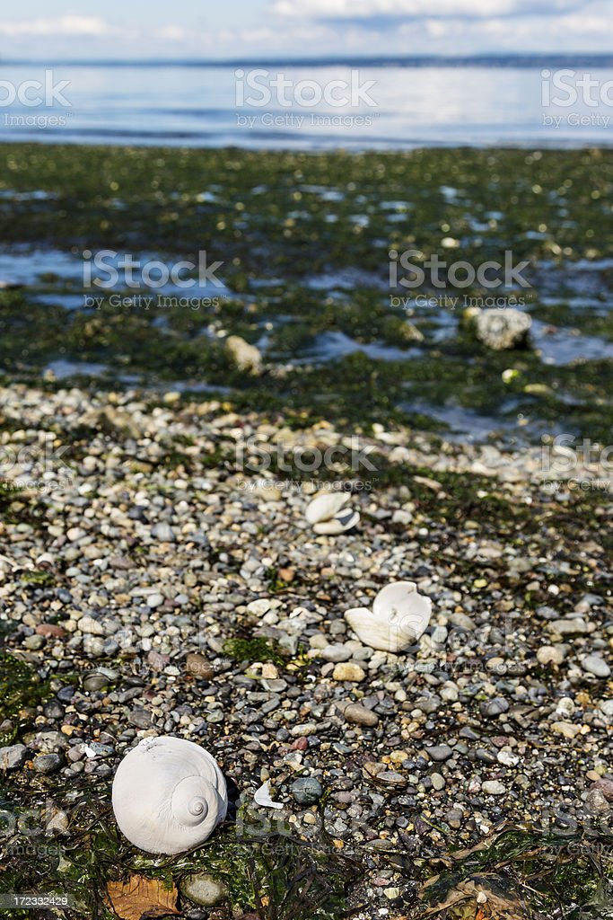 Pebble and Seaweed Beach with Moon Snail Shell in Foreground royalty-free stock photo