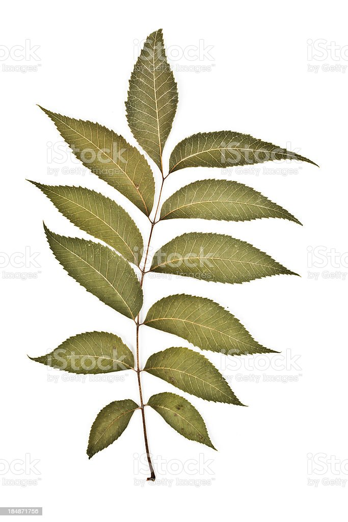 Pecan - Carya illinoinensis stock photo