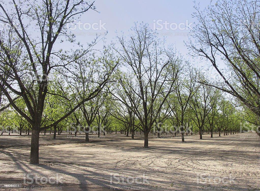 Pecan Grove stock photo
