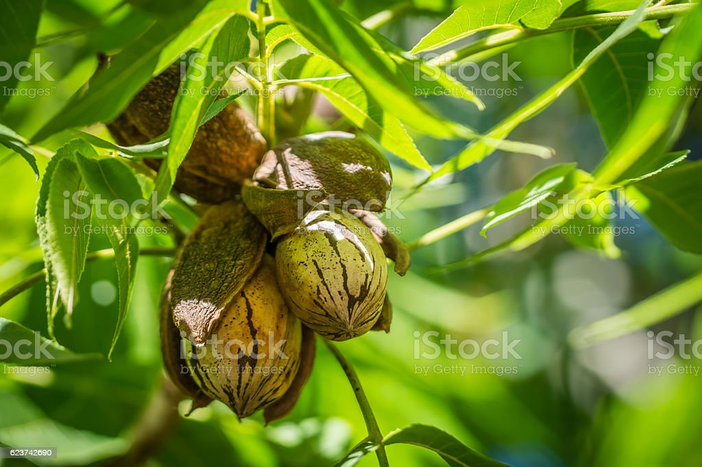Pecan nut Cluster in shadows stock photo