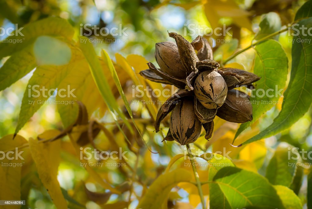 Pecan Nut Cluster surrounded with yellow and green leaves stock photo