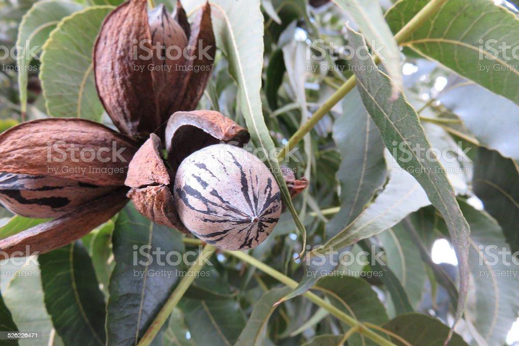 Pecan nut on tree stock photo