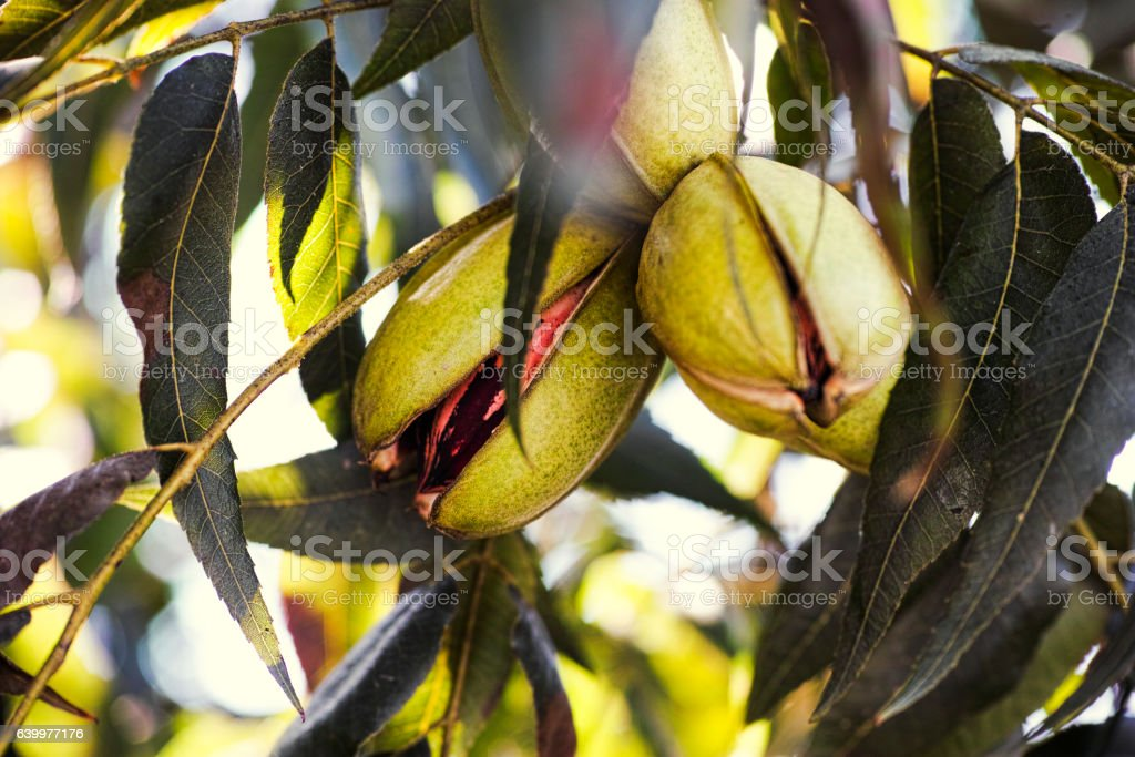 Pecan nuts growing on tree stock photo