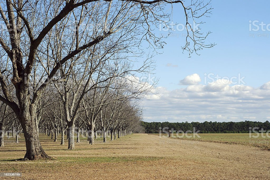 Pecan Orchard in Winter stock photo