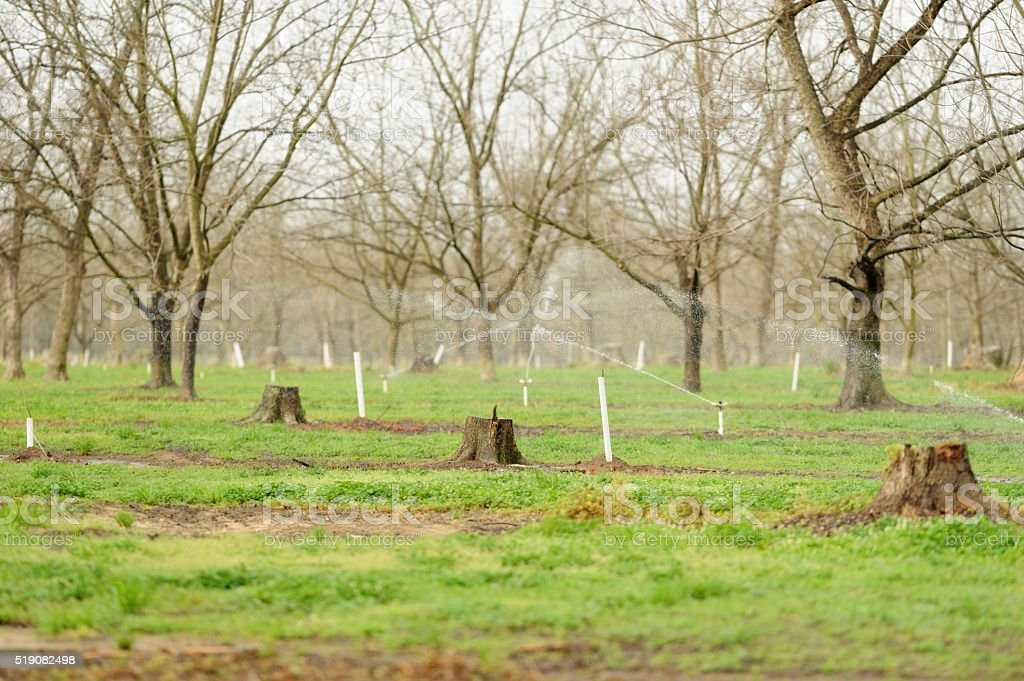 Pecan orcharded with old and new growth stock photo