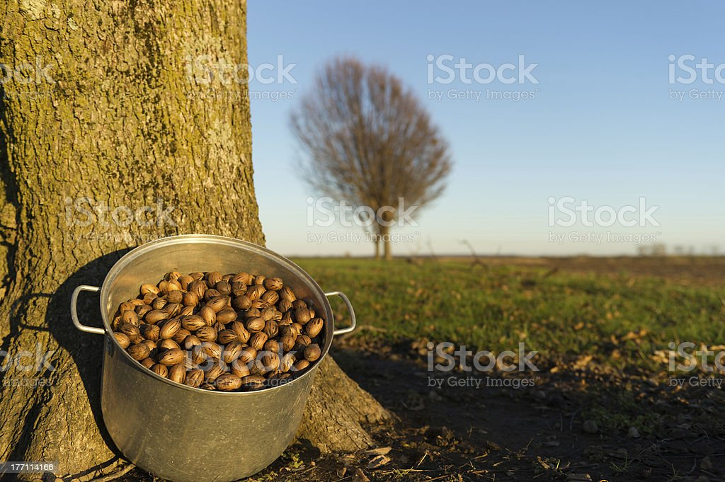 Pecans in pan under pecan tree stock photo