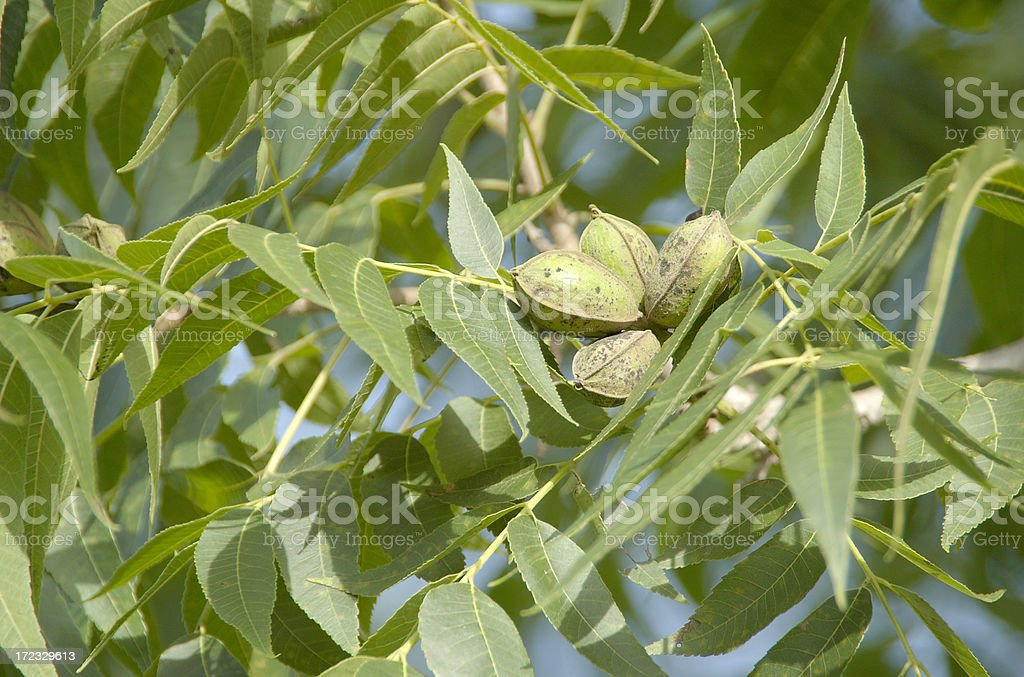 Pecans on the Tree royalty-free stock photo