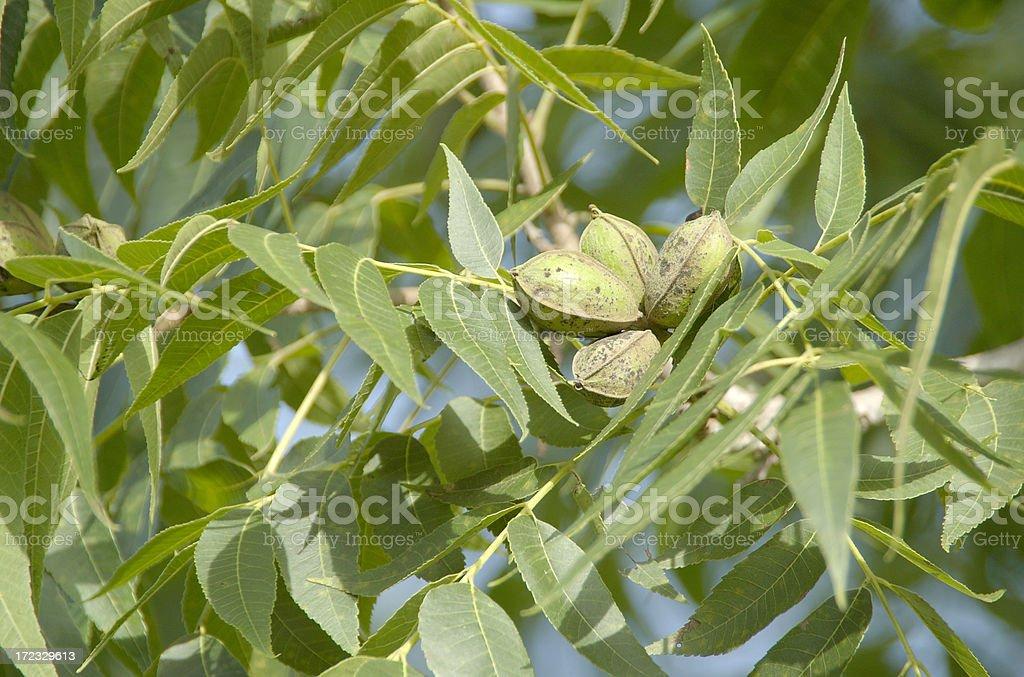 Pecans on the Tree stock photo