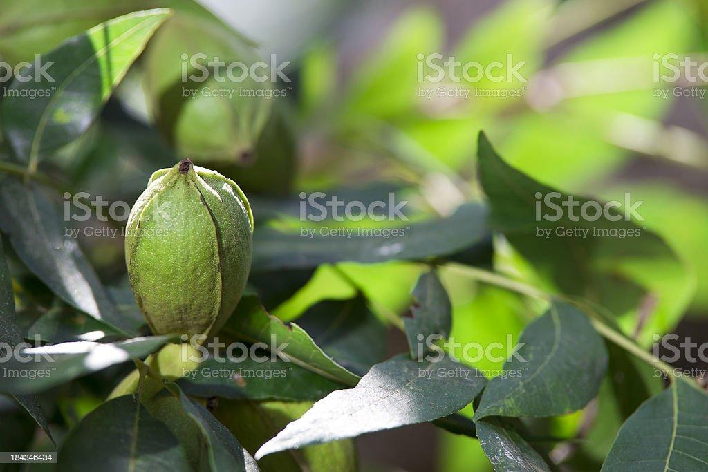 Pecans on Tree stock photo