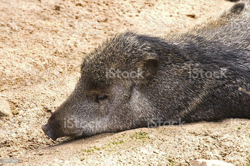 Peccary at Rest stock photo