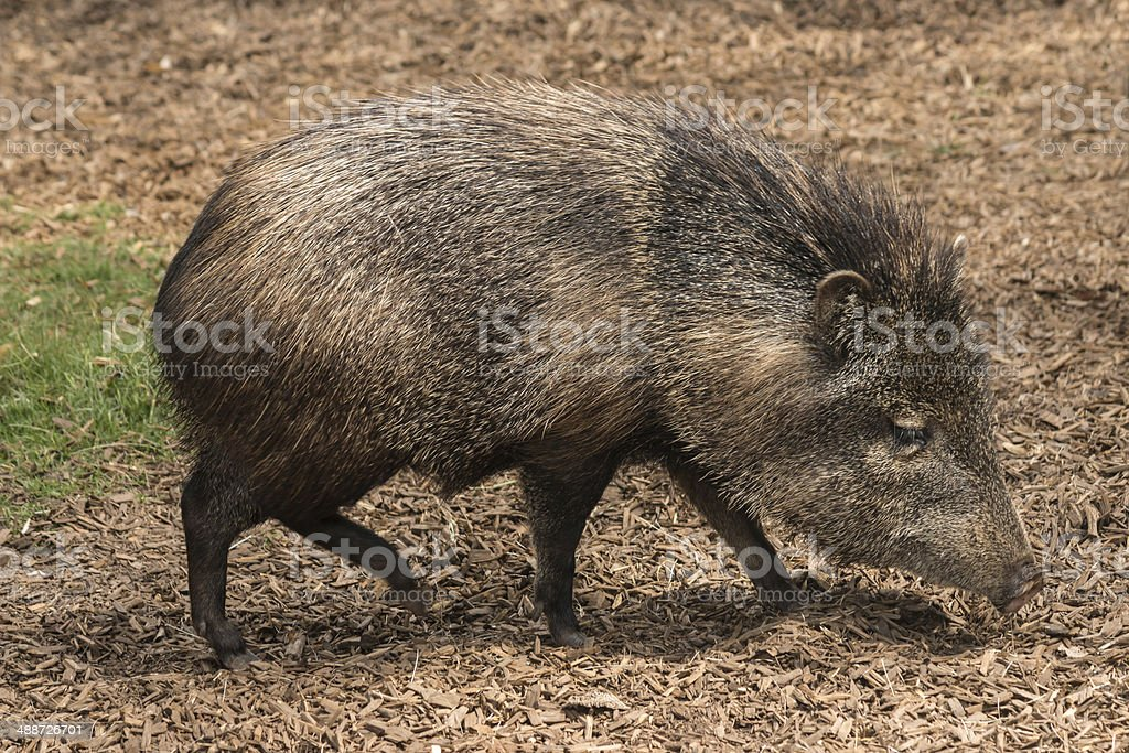peccary searching for food stock photo
