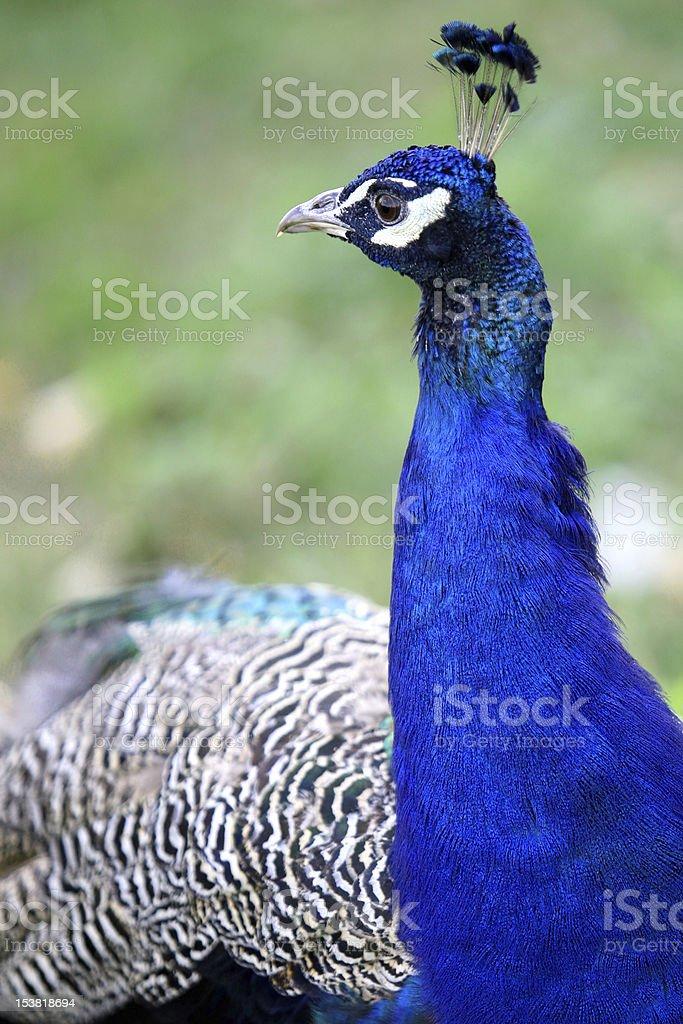Pecock stock photo