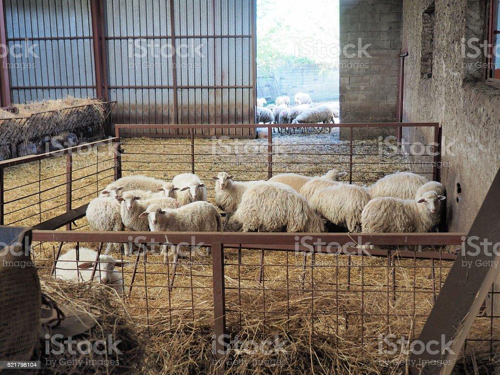 pecore nell'ovile stock photo
